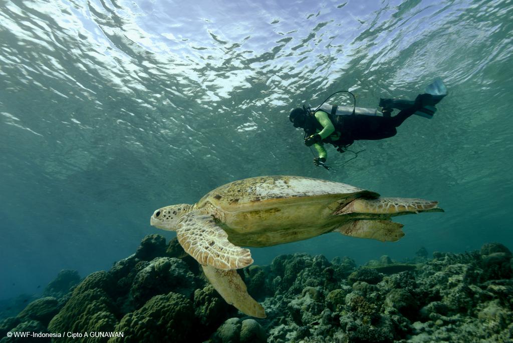 Penyu di Perairan Kepulauan Derawan