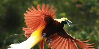 Cenderawasih, Burung Langka nan Elok dari Papua