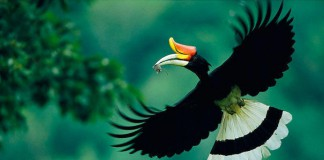 burung enggang