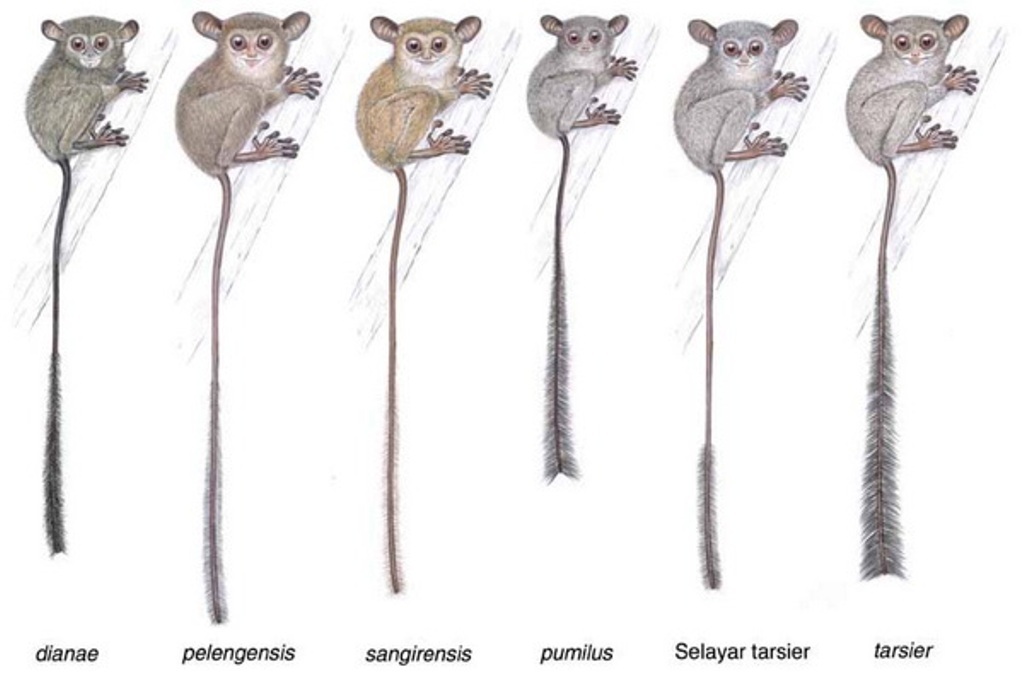 Tarsius, Primata Mungil dari Sulawesi yang Terancam Punah