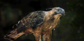 Elang Jawa, Burung Endemik Pulau Jawa yang Terancam Punah