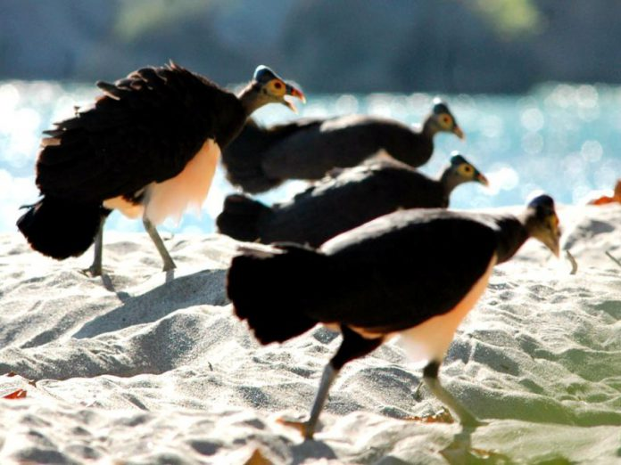 Maleo, Burung Endemik Sulawesi yang Langka