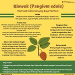 [Infografis] Kluwek (Pangium edule)