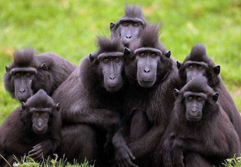 Yaki, Monyet Hitam dari Sulawesi