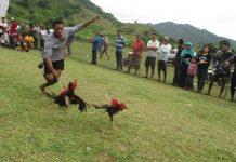 Barapan Ayam khas Sumbawa Barat