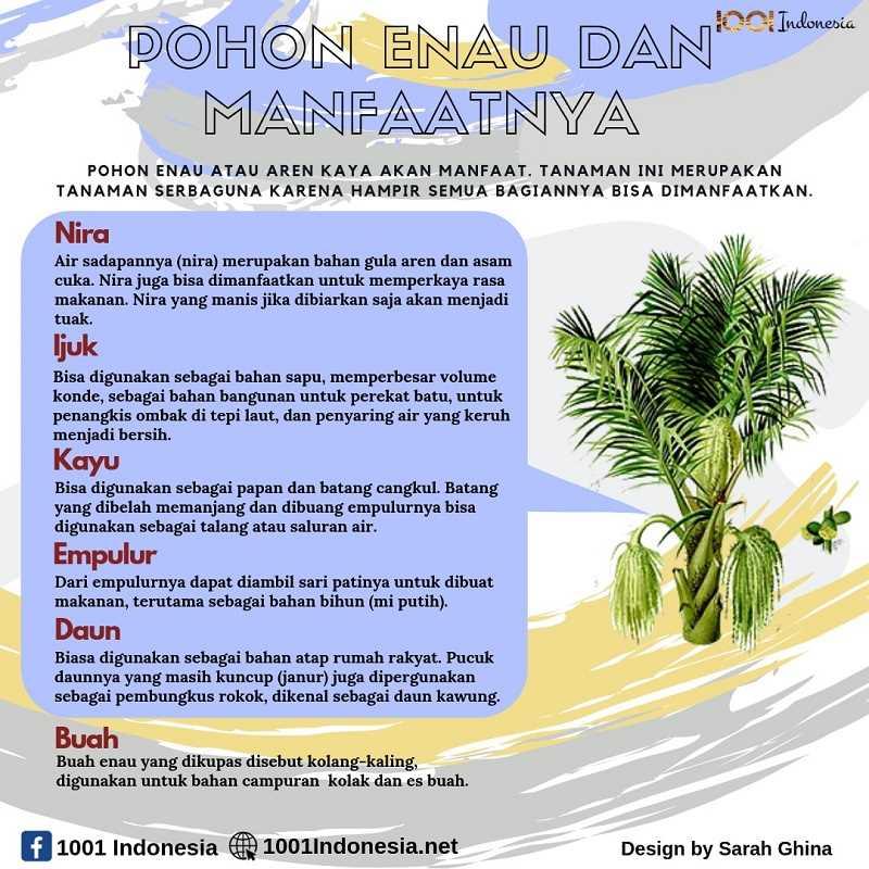 Infografis Manfaat Pohon Enau atau Aren
