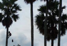 Menyadap pohon siwalan untuk membuat legen.