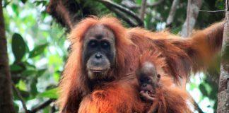Orangutan Tapanuli, Spesies Orangutan Baru di Indonesia