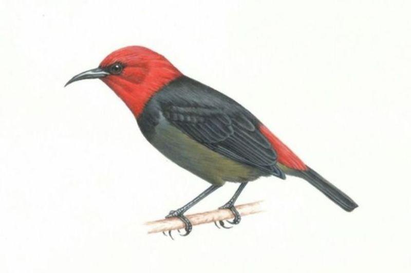 Phylloscopus rotiensis