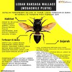 Infografis Lebah Raksasa Wallace