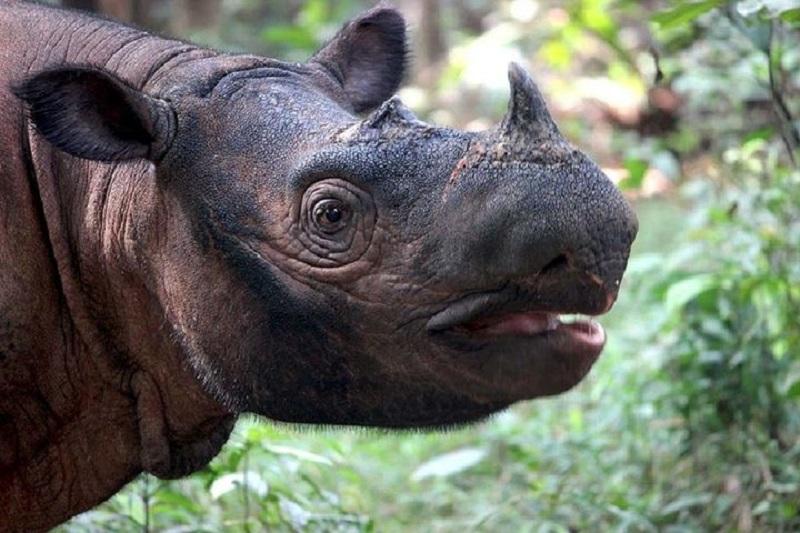 Badak Sumatra