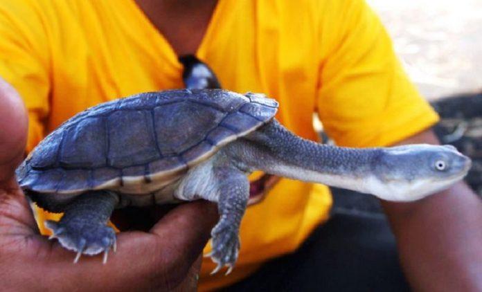 Kura-kura Berleher Ular Pulau Rote
