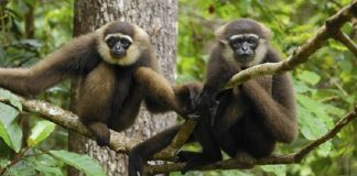 Owa Kalimantan