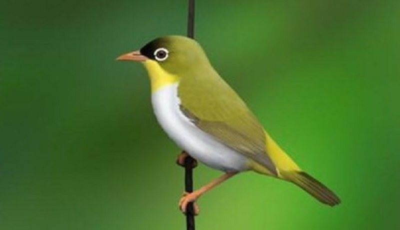 Burung Pleci Sangihe