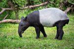 Tapir Asia