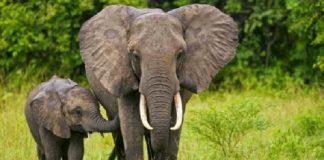 gajah sumatra