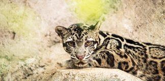 Macan Dahan Indonesia