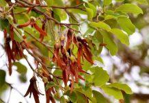 Pohon Tengkawang