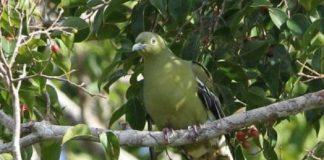 Punai Timor