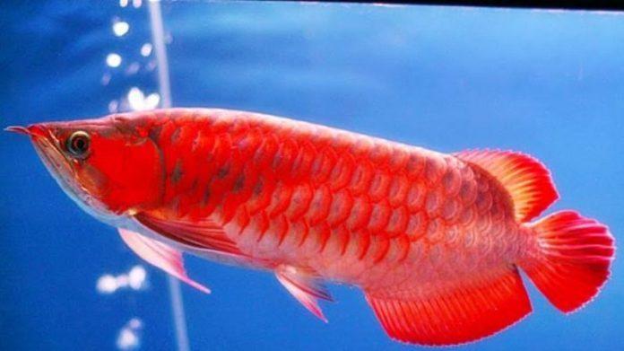 Arwana Super Merah