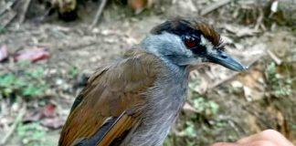 Pelanduk Kalimantan