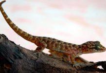 Cyrtodactylus jatnai