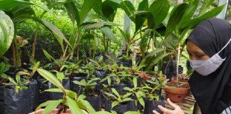 Nepenthes adrianii