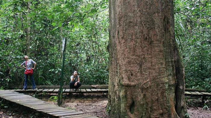 Pohon ulin besar yang usianya diperkirakan sudah mencapai 1000 tahun. Pohon ulin ini berada di Taman Nasional Kutai, Kalimantan Timur. (Sumber: tribunnews.com)
