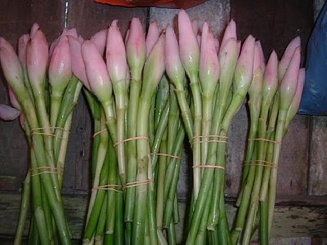 Batang dan Kuncup Bunga Kecombrang (Foto: infoherbalis.com)